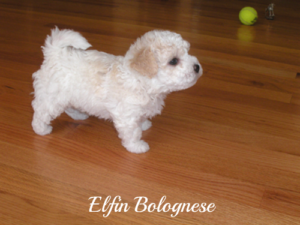 8 Week Old Bolognese Puppies Available Elfin Bolognese